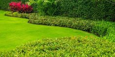Types of Hedges Evergreen Plants, Types Of Hydrangeas, Container Plants, Evergreen Ground Cover Plants, Hedges, Jade Plants, Plants, Lemongrass Plant, Lavender Plant