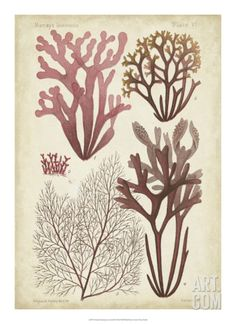 Seaweed Specimen in Coral II Giclee Print by Vision Studio at Art.com
