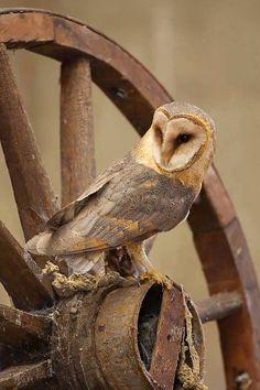 Barn Owls, the farmers friends! :)