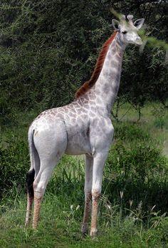 Esta rarísima jirafa se llama Omo. Tiene un poco más de un año y fue encontrada en el Parque Nacional Tarangire en Tanzania por el Dr. Derek Lee (científico y fundador del Instituto Naturaleza Salvaje).