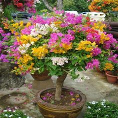 Front Yard Garden Design Flower garden - Description Name:Mix-Color Bougainvillea Spectabilis Willd Seeds Bonsai Flower Plant Seeds 100 Particles / lot Feature: PCS Germination time: Days For germination Celsius Packing:OPP simple packaging W. Plantas Bonsai, Bougainvillea Bonsai, Bonsai Plants, Potted Plants, Flower Seeds, Flower Pots, Flower Planters, Flowering Trees, Outdoor Plants