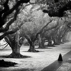 foggy day at Oak Alley Plantation in Vacherie, Louisiana