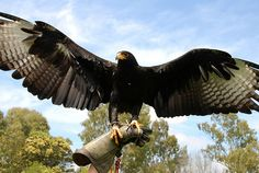 black eagle wings - Google Search
