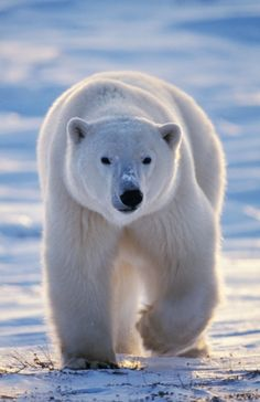LES MÉTAMORPHOSES DE L'OURS POLAIRE - http://www.blog-habitat-durable.com/les-metamorphoses-de-lours-polaire/