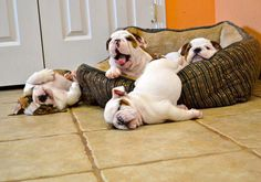This looks like me and my friends at the end of a Saturday night out. Bulldog Puppies, Cute Puppies, Dogs And Puppies, Cute Dogs, Doggies, Funny Bulldog, Funny Dogs, Bulldog Quotes, Cute Baby Animals