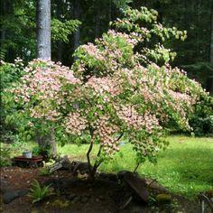 My Aunts Dog Wood Tree :0)