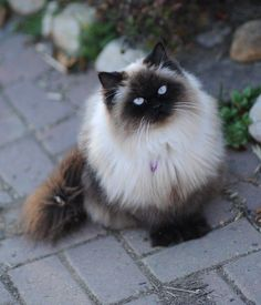 Himalayan #Cat Breed