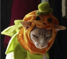 Halloween has now passed and all over the world cat owners are uploading their photos of their cats dressed as pumpkins. Crazy Cat Lady, Crazy Cats, Cute Cats Photos, World Cat, Cat Drinking, Cat Dresses, Cat Hat, Sphynx Cat, Cat Boarding