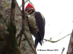 Pica-pau-de-banda-branca (Dryocopus lineatus) Lineated Woodpecker