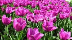Bright pink tulips flowers -stock video | by olgart