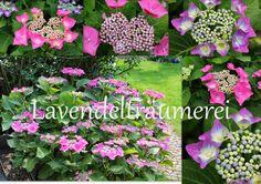prachtvolle pinke Hortensien