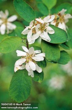 Amelanchier on Pinterest   Amelanchier Alnifolia, Small ...
