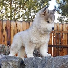 Siberian Husky That little nose! Siberian Husky That little nose! Cute Husky Puppies, Puppy Husky, Huskies Puppies, Pomeranian Husky, Rottweiler Puppies, Mini Huskies, Baby Huskies, Malamute Puppies, Funny Puppies