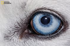 White Wolf : National Geographic takes a fascinating close-up look at animal eyes