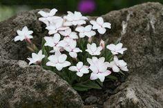 Mia Bella Gardens: 'Morning Star' Rhodohypoxis