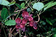 Akebia quinata | chocolate vine/RHS Gardening
