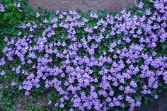 Murreva 10-15 cm. Maj sept marktäckare Maj, Garden, Plants, Inspiration, Cottage, Patio, Google, Summer, Flowers