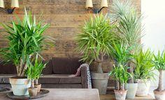 6. Yucca: Obwohl sie oft Yucca-Palme genannt wird, ist sie aus botanischer Sicht keine Palme, sondern gehört zu den Agavengewächsen. Je mehr Schöpfe, umso schöner sieht die Yucca aus. Ihr Plus: Die Pflanze ist super pflegeleicht – und wird sie im Zimmer zu groß, kann man den Stamm kappen und auf einen Neuaustrieb im unteren Stammbereich warten, was je nach Standort aber einige Wochen dauern kann