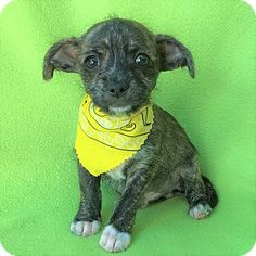 Burbank, CA - Chihuahua Mix. Meet Leary Toy Chihuahua Puppy, a puppy for adoption. http://www.adoptapet.com/pet/17773465-burbank-california-chihuahua-mix