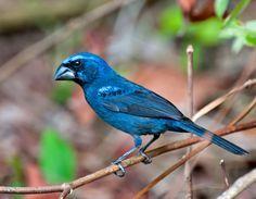 Foto azulão (Cyanoloxia brissonii) por Dario Sanches | Wiki Aves - A Enciclopédia das Aves do Brasil
