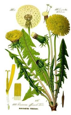 drawings of weeds   photo © Public Domain