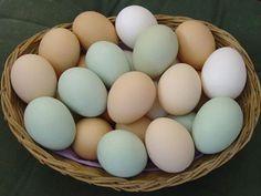 Chicken Breeds: Ameraucana/Americana, Araucana, and Easter Egger