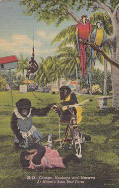 Chimps, Monkeys and Macaws- Oh My- Miami Rare Bird Farm- 1950s Vintage Postcard