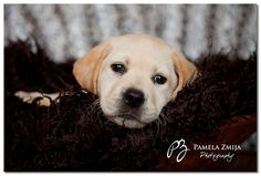 Yellow Lab Puppy, Puppy Pictures, Puppy Photography
