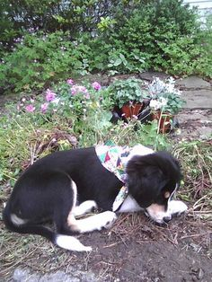My boarder collie beagle Rudy as a puppy. He's layin outside our house :)