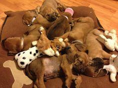 Bloodhound puppy pile!