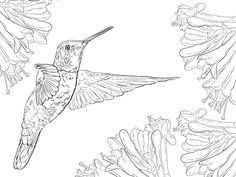 Magnificent Hummingbird coloring page from Hummingbirds category. Select from 20946 printable crafts of cartoons, nature, animals, Bible and many more.