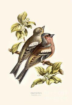 CHAFFINCH - high resolution image from old book. Chaffinch, Flora And Fauna, Urban Landscape, Wild Birds, Restoration, Canvas Prints, Animals, Vintage, Libraries