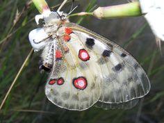 Apollo Butterfly (Parnassius Apollo). Europe and Asia.