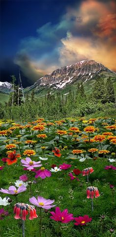 Cosmos and zinnias in the Canadian Rockies....