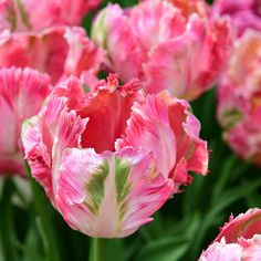 'Apricot Parrot' ... #tulips #flowers #blomster #garden #clausdalby