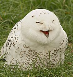 Laughing owl! So cute!