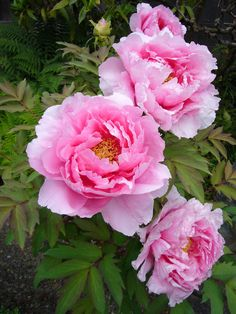 Which spring flowers are blooming when? Peony Flower, Flower Seeds, Flower Art, Tree Peony, Peony Rose, Cactus Flower, Planting Shrubs, Planting Flowers, Flowers Garden
