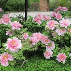 Japanese Tree, Tree Peony, Chicago Botanic Garden, Pink Flowers, Beautiful Flowers, Bouquet, Gardening, Album, Landscape