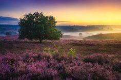 perierga.gr- Ροζ ονειρικά τοπία ερείκης στην Ολλανδία!