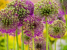 Slightly seedy Alliums