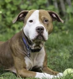Odin is an adoptable Pit Bull Terrier searching for a forever family near Port Washington, NY. Use Petfinder to find adoptable pets in your area.