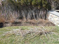GardenAtoZ - Cut weak wood hard - Garden A to Z Hydrangea Landscaping, This Or That Questions, Landscape, Wood, Garden, Plants, Garten, Woodwind Instrument, Scenery