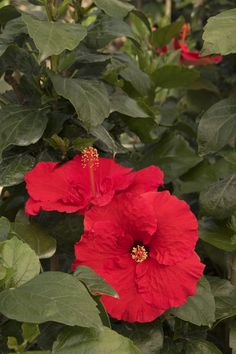 Monrovia's Red Darling® Hibiscus details and information. Learn more about Monrovia plants and best practices for best possible plant performance. Foliage, Landscaping Plants, Plants, Tropical Garden, Flowers, Plant Catalogs, Hibiscus, Perennials, Red Flowers