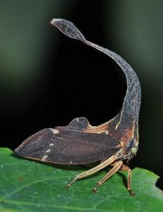 Treehopper (Membracidae) - Sulawesi <3