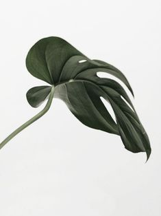 monstera - All About Cactus Plante, Belle Plante, Plants Are Friends, Deco Floral, Diy Garden, Garden Art, Green Plants, Belle Photo, Houseplants