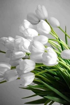 51 Ideas flowers tulips white plants for 2019 White Tulips, Tulips Flowers, Flower Petals, White Flowers, Beautiful Flowers, Tulips Garden, Garden Soil, When To Plant Tulips, Flor Magnolia