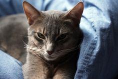 Inouï! - Stunning!  blue abyssinian cat 8