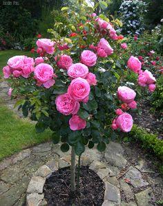Галерея - Категория: Роза на штамбе - Файл: Leonard de Vinci 2009