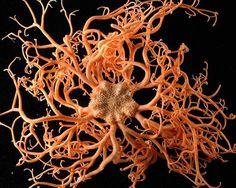 Gorgon head starfish