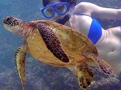 Snorkeling with green sea turtles in Maui is on of the most relaxing yet exhilarating things to do in life.